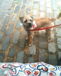 Lovely Border Terrier Pup